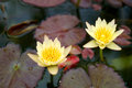 Two yellow water lily flowers in bloom with pads Royalty Free Stock Photo