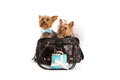 Two Yorkshire Terrier Dogs Traveling in Luxury Stock Images