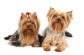 Two yorkshire terriers isolated on white backdrop Stock Photo