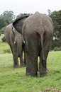 Two young African elephants Royalty Free Stock Photo