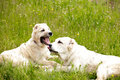 Two young alabai dogs resting spring meadows Royalty Free Stock Photography