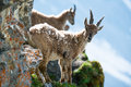 Two young alpine ibex Stock Photography