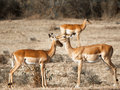Two Young Antelope Standing Ne...