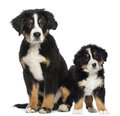 Two young bernese mountain dogs months old and puppy next to each other Stock Photo