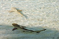 Two young black point reef sharks on the maldives Royalty Free Stock Photo