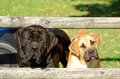 Two young boerboels purebred south african boerboel dogs with cute alert facial expression standing behind a fence on a farm and Stock Photos