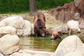 Two young brown kamchatka bears swim in the lake Royalty Free Stock Photos