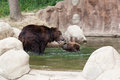 Two young brown kamchatka bears swim in the lake Royalty Free Stock Images