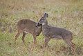 Two young Button Bucks playing together. Royalty Free Stock Photo