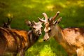 Two young deer close up view of grazing on the mountain pasture at the foot of mont blanc Royalty Free Stock Photography