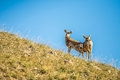 Two young deer standing top of hill on Stock Photos