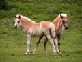 Two young foals Stock Images