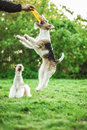 Two young fox terrier jump for plate on green lawn Royalty Free Stock Photography