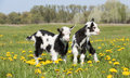 Two young funny goats in dandelions