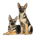 Two young german shepherd sitting and lying down months old Royalty Free Stock Image
