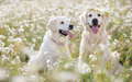 Two young Golden Retriever in the flower meadow. Royalty Free Stock Photo