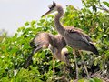Two young great blue herons with small bird Royalty Free Stock Photo