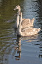 Two young grey swans Royalty Free Stock Photo