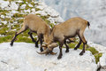 Two young ibex fighting Stock Photos