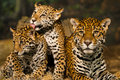 Two young jaguar cubs their mother Stock Photos