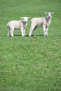 Two Young Lambs In Field