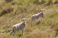 Two Young Lambs Royalty Free Stock Photo