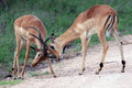 Two young male African antelope Impala beat horns Royalty Free Stock Photo