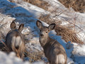 Two young mule deer grazing in a field in the winter one stops to look back at photographer Royalty Free Stock Images