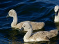 Two young mute swans are swimming Royalty Free Stock Photo