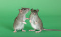 Two young rats Stock Photo
