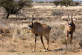 Two Young Roan Antelope