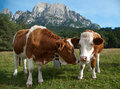 Two young simmentaler dairy cows on a pasture Royalty Free Stock Image