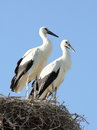 Two young storks in nest standing their bright sunlight waiting for their parents feeding them the background a cloudless Royalty Free Stock Photo