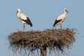 Two young storks nest waiting parents coming food Royalty Free Stock Photo