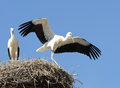 Two young storks scenery standing in their nest in bright sunlight one of them opening its wings as if trying to fly in the Stock Image