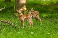 Two young toddler fawn kids fallow deer babies Royalty Free Stock Photo
