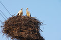 Two young white storks in the nest on blue sky background Royalty Free Stock Photo