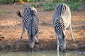 Two zebra down on their knees drinking water at sunset in a with Royalty Free Stock Photo