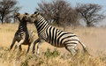 Two Zebra stallions fighting Royalty Free Stock Photo
