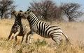 Two Zebra stallions fighting Royalty Free Stock Photo