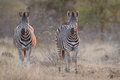 Two zebra standing in grass at sunset with sinlight from the sid side winter Stock Image