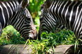 Two Zebras Royalty Free Stock Photo