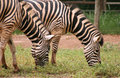 Two Zebras Stock Images