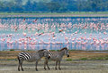 Two zebras in the background flamingo. Kenya. Tanzania. National Park. Serengeti. Maasai Mara. Royalty Free Stock Photo