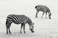 Two zebras grazing in the meadow Royalty Free Stock Photo