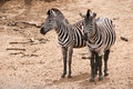Two cute zebras Royalty Free Stock Photo