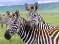 Two zebras in the Ngorongoro Crater Stock Photography