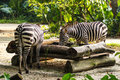 Two zebras in singapore zoo Stock Photo