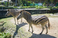 Two zebras walk the zoo in Thailand Royalty Free Stock Photo