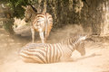 Two zebras in the zoo Royalty Free Stock Photo